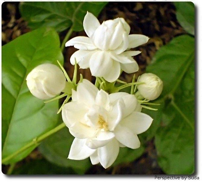 Night bloom flower - Mogra