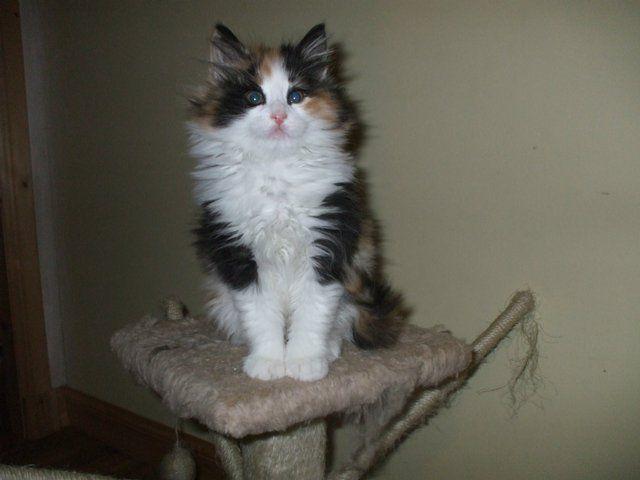 Preloved Norwegian Forest Kittens For Sale In Keith Aberdeenshire Norwegian Forest Kittens Cats And Kittens Kittens