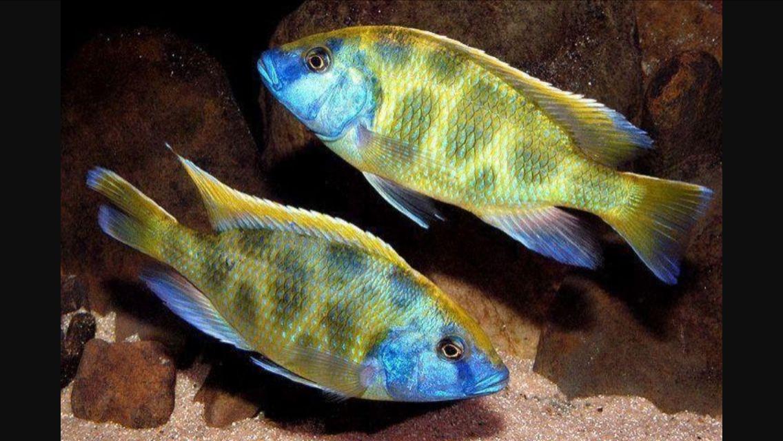 Haplochromis Livingstoni With Images Cichlids African