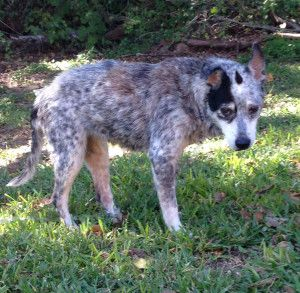 Pearl, a cruelty case we rescued from ACS in San Antonio, Texas. At Rainbow Bridge.