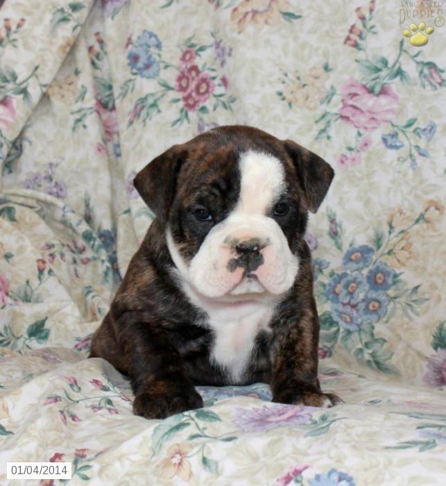 English Bulldogs For Sale In Pennsylvania English Bulldog Puppy