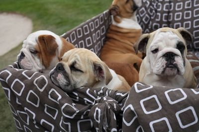 Bulldog Puppies Ughhh I Want One Or Two Or Alllllll Of Them With