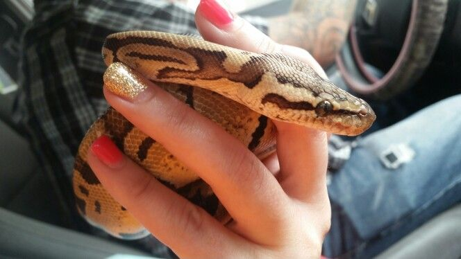 My new pastel vanilla ball python Gerogia! Her and Chevy are going to produce an amazing clutch when it's time :)