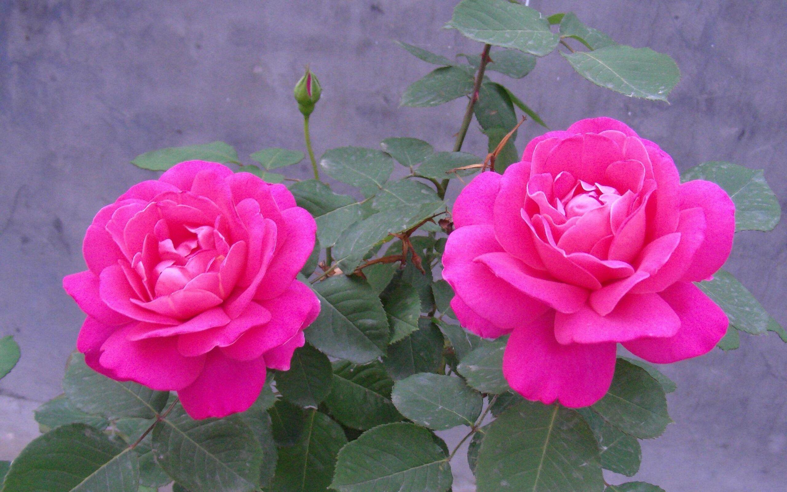 Gambar Bunga Mawar Hd Download Dari Koleksi Gambar Bunga Mawar Yang Indah Dan Romantis Wallpaper Bunga Indah Bunga Bunga Indah Gambar Bunga