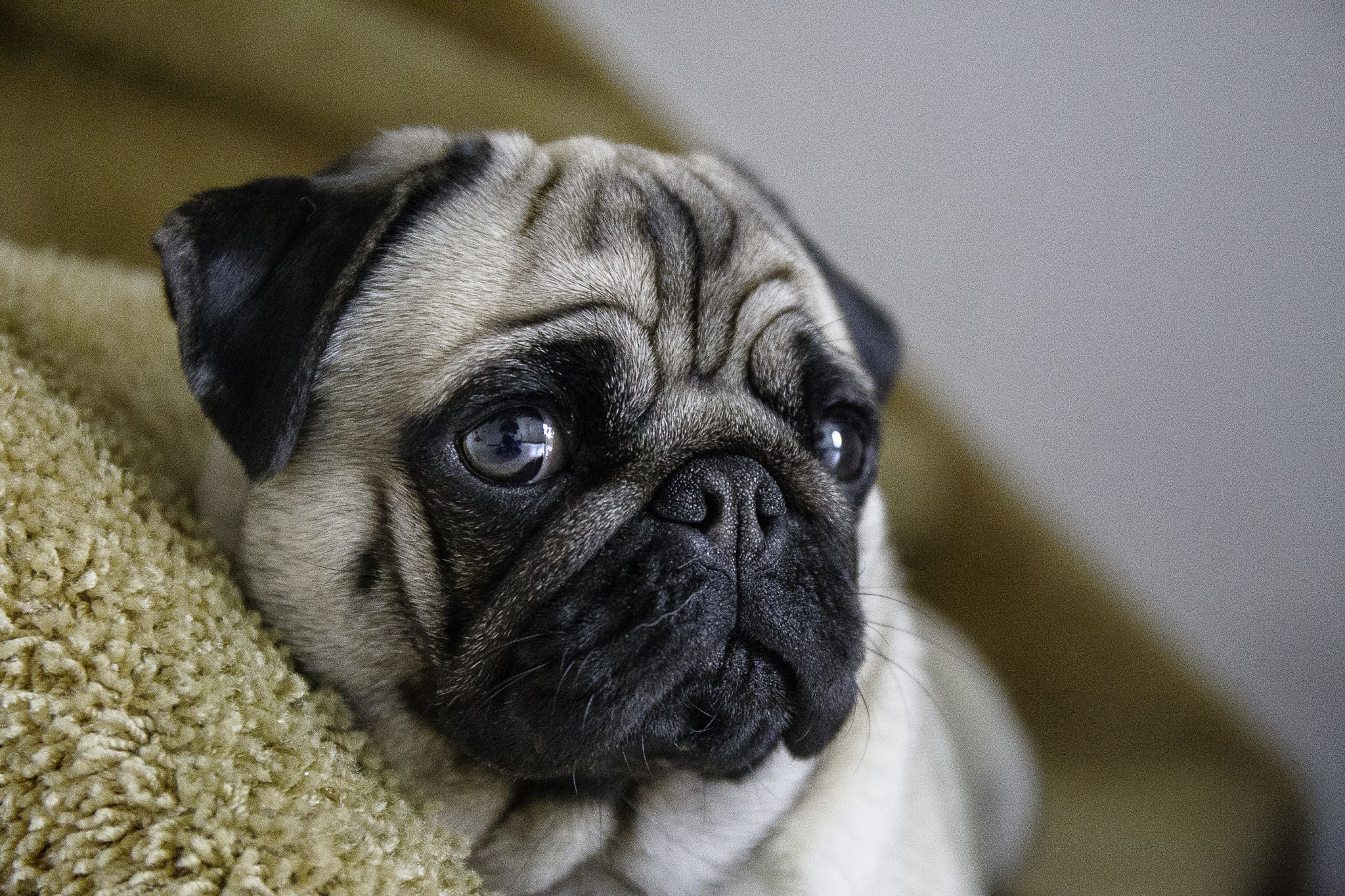 Pin By Samantha Farler On Puppies Pug Breed Pugs Dogs