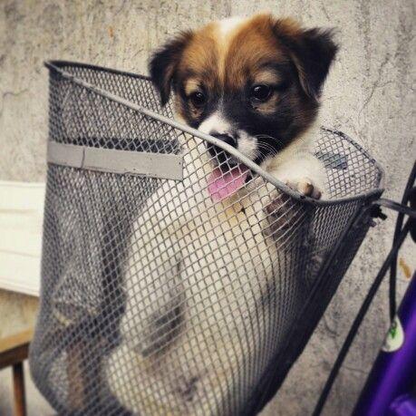 Aspin Dog Dexter Boy Puppy Love Puppies