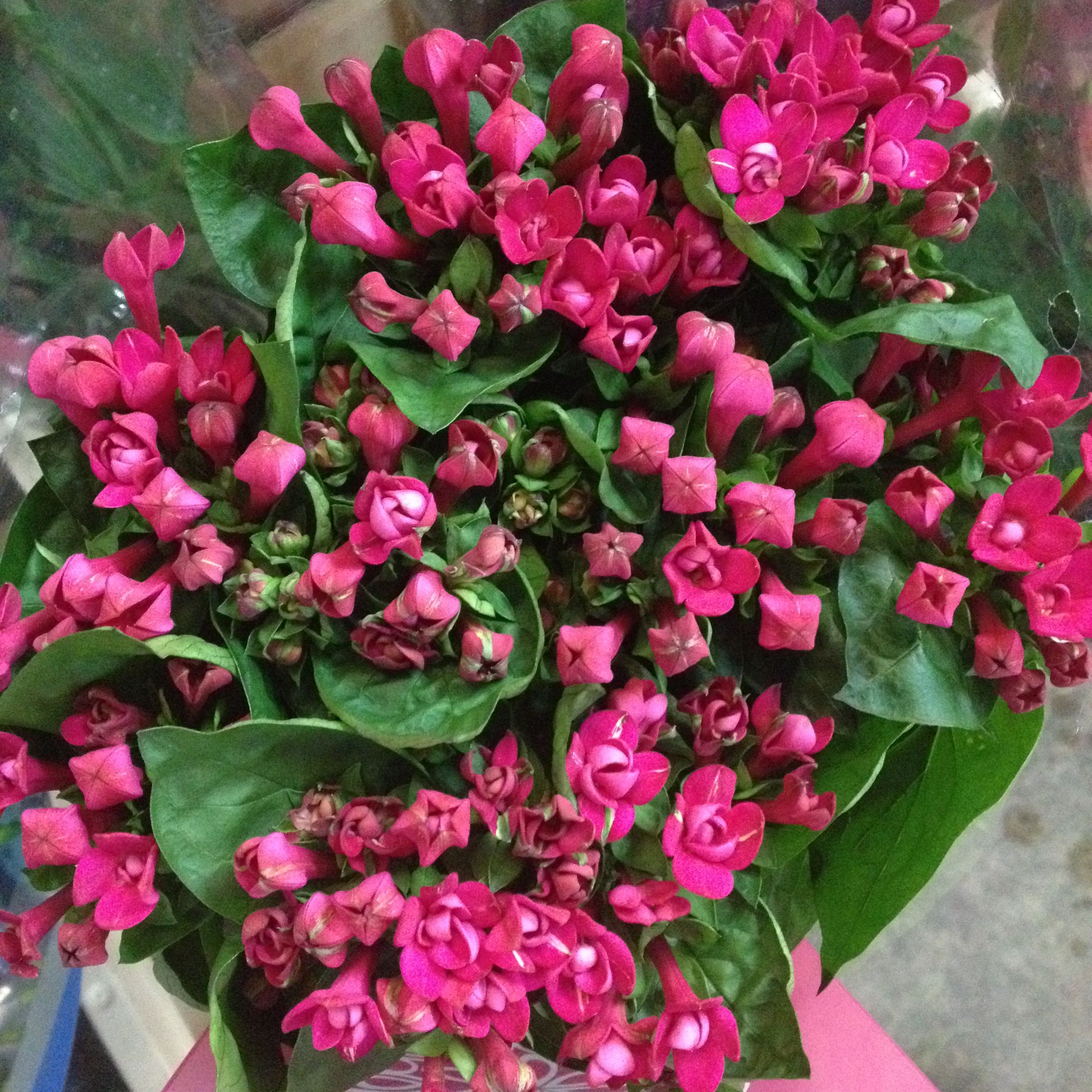 Bouvardia Double Variety Called Diamond Cerise Sold In Bunches Of 10 Stems From The Flowermonger The Wholesale Floral Home Delivery Serv Diy Wedding Flowers Flower Arrangements Wedding Flowers