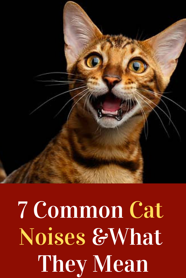 7 Common Cat Noises And What They Mean Cat Noises Cats Cat Meowing At Night