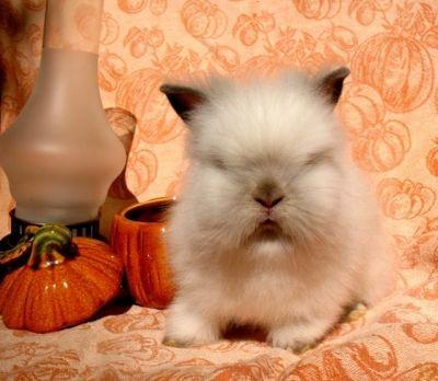 Petite Lionhead Bunny Rabbit--it's like deez!! @Nicole Witzig