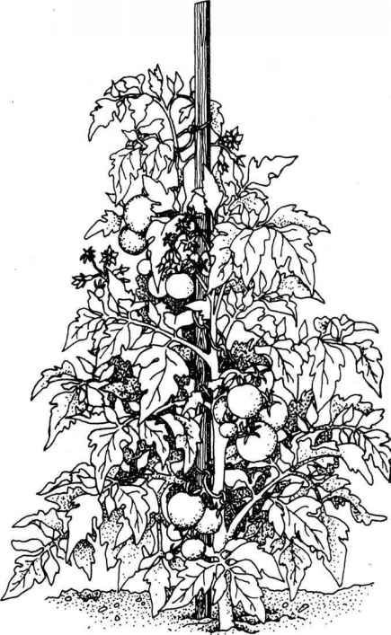 Drawing Of Tomato Plant Google Search Plant Drawing Tomato