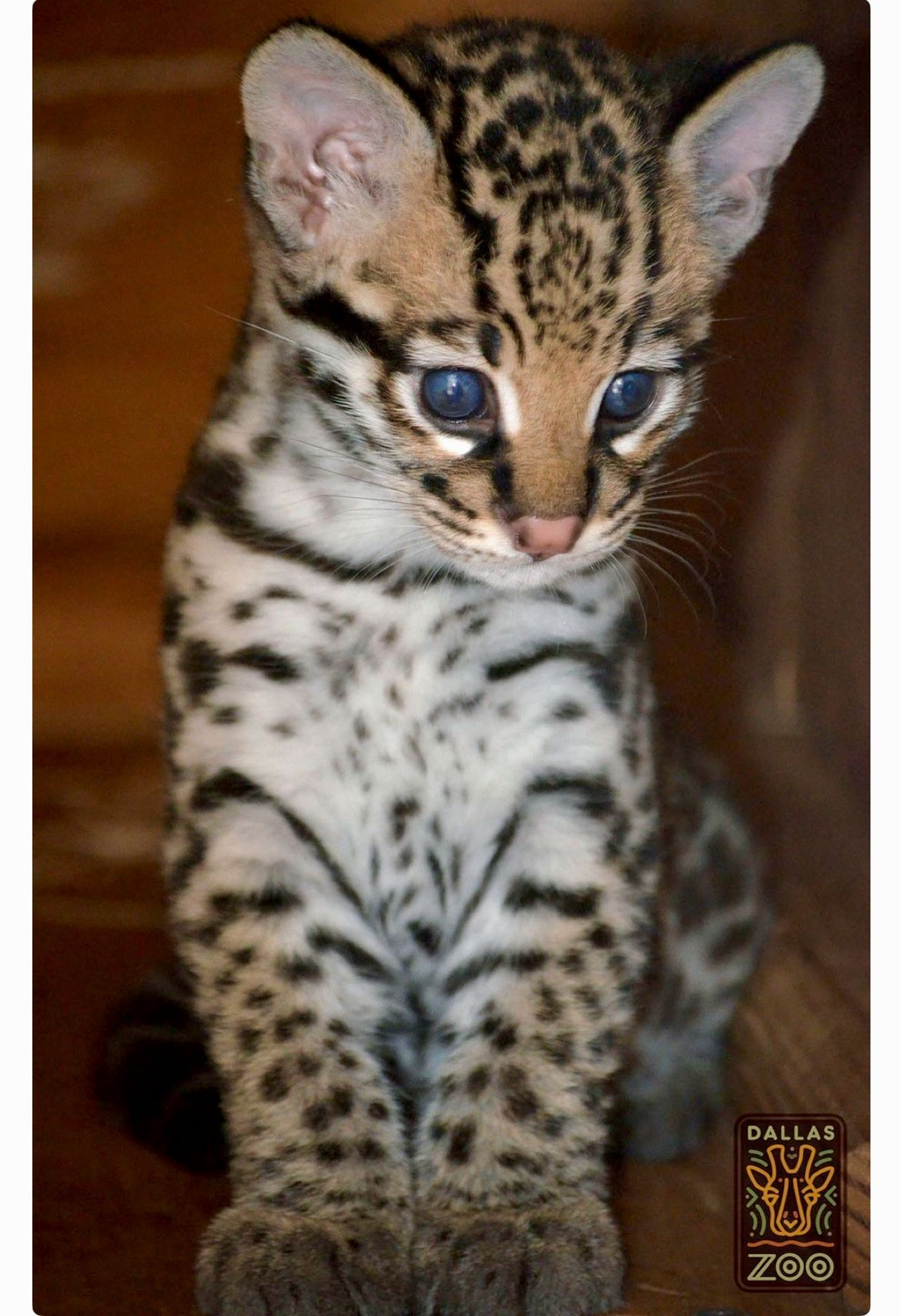 Adorable Baby Ocelot With Big Baby Blue Eyes Dallas Zoo Cats Baby Animals Pictures