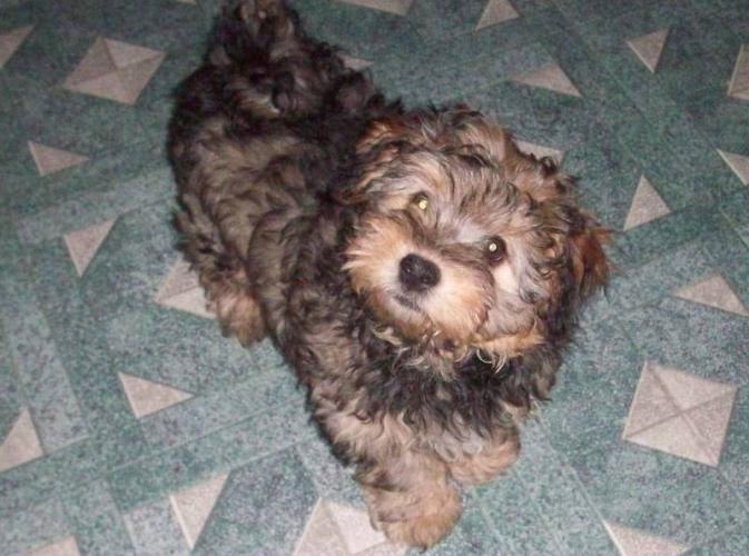 Yorkie Bichon Puppies For Sale Christmas Puppies Yorkie Mix