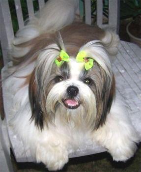 Shih Tzu Dog I Miss My Rags Shih Tzu Best Hypoallergenic