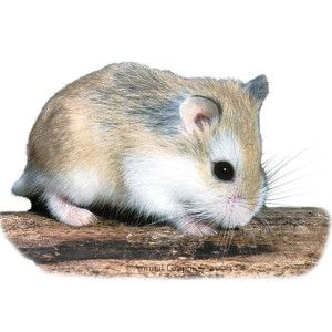 Roborovski Dwarf Hamster Robo dwarf hamsters, Cute