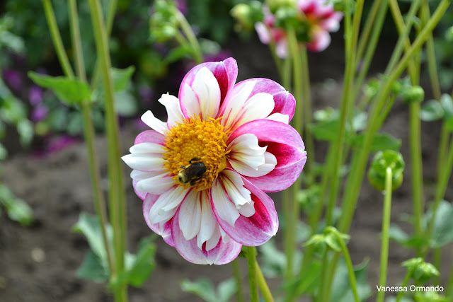 I love this!! From: The Passionate Homemaker: Swan Island Dahlia Festival, Canby