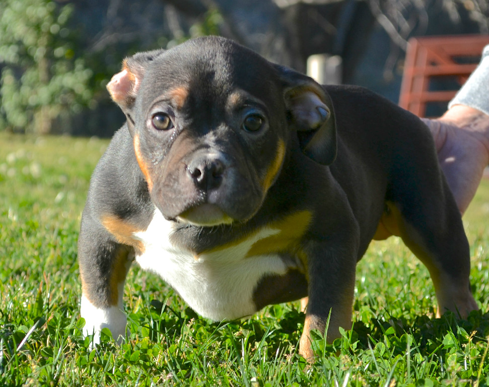 American Bully Puppy Black Tri For Sale American Bully Dogs Bulldog