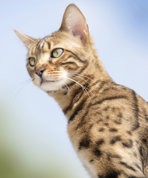 Savannah Cat Size,Diet,Temperament,Price. F1 Savannah