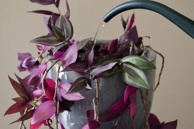 how to care for a wandering jew plant. Black Bedroom Furniture Sets. Home Design Ideas