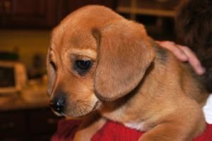 Butterscotch Dachshund Beagle An Adoptable Dog In Germantown
