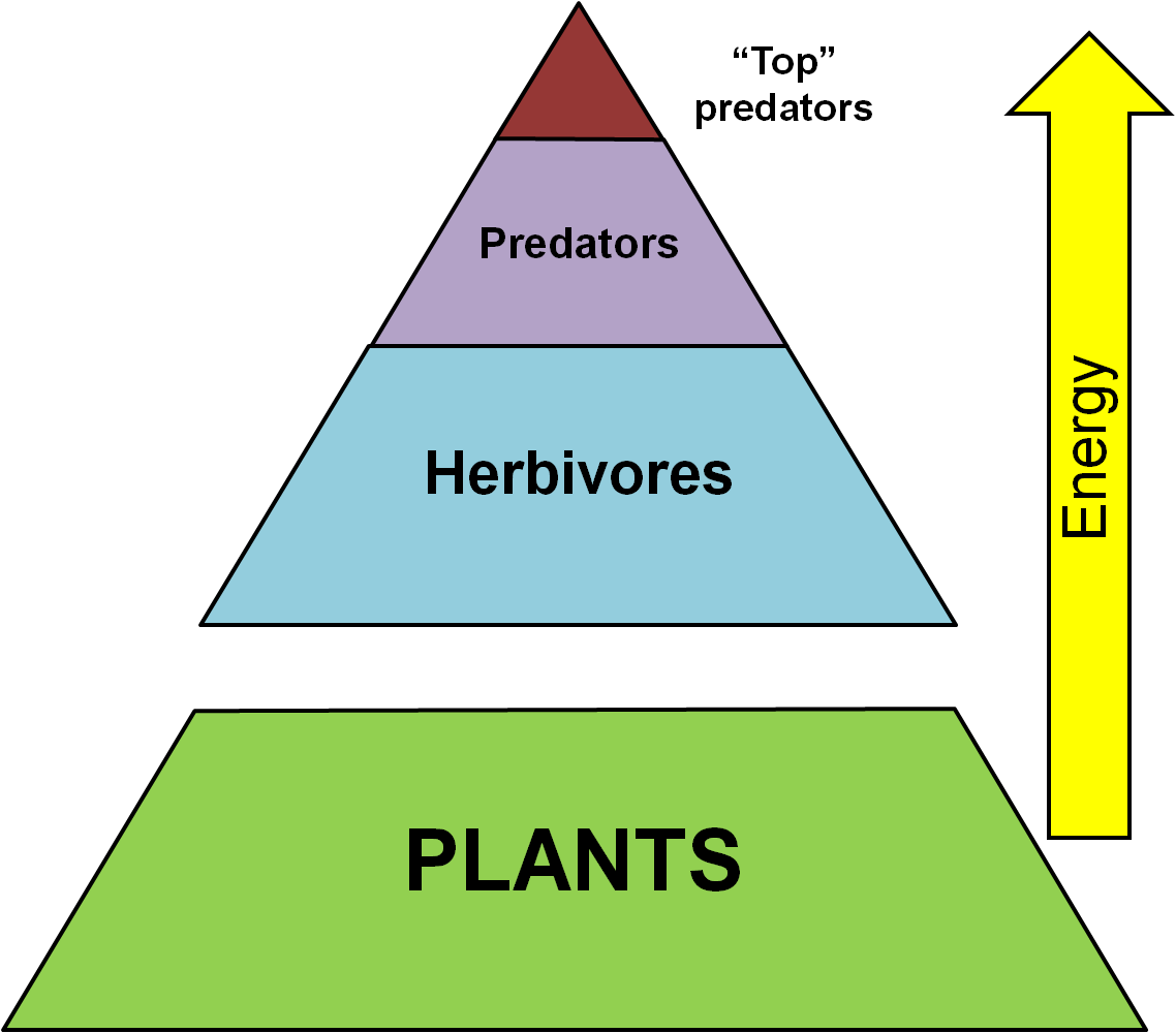 This Diagram Shows The Trophic Levels From Producers Or Plants To