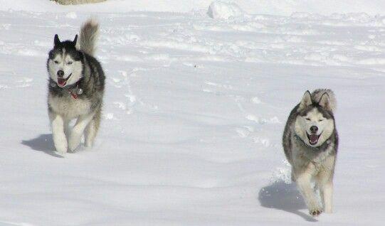 Siberian Husky Running Snow Siberian Husky Husky Pets