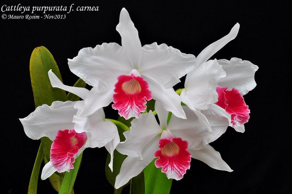 Cattleya Purpurata F Carnea 9 Pretty Flowers Beautiful Orchids Orchid Flower