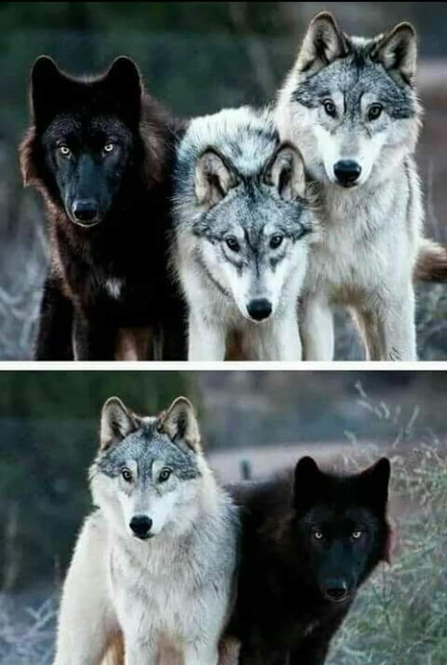 Pin By Meggy Kiss On Gray Wolf Wolf Dog Albino Animals Wolf Love