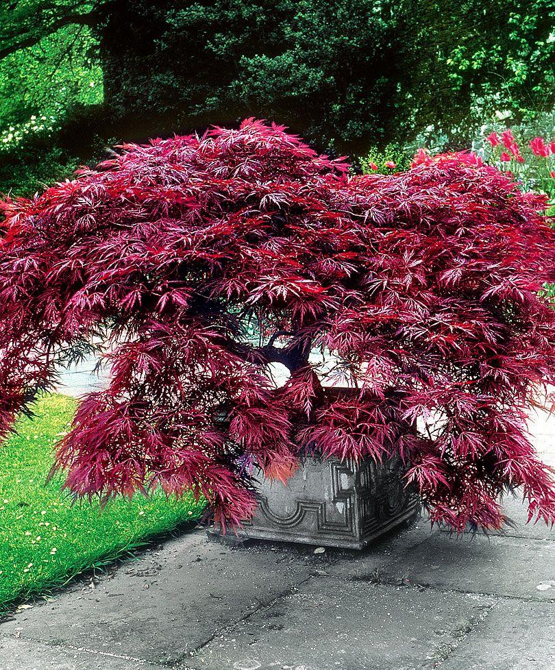 Erable Du Japon Petit Érable du japon 'dissectum garnet' | arbres & arbustes