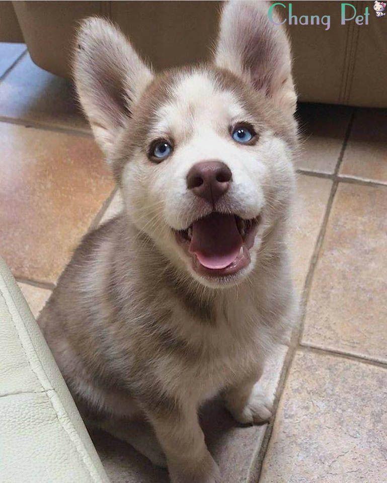 Husky siberian 25 cute dogs dog friends siberian husky
