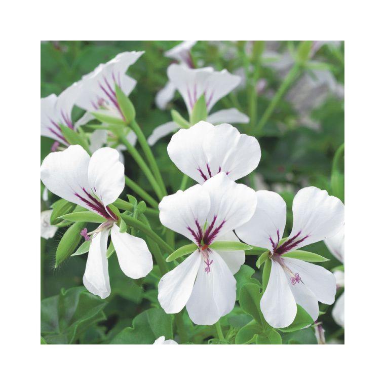Géranium lierre simple blanc. Le pack de 6 plants ...