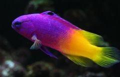 Royal Gramma Saltwater Aquarium Guide Beautiful Fish Saltwater Aquarium One Fish