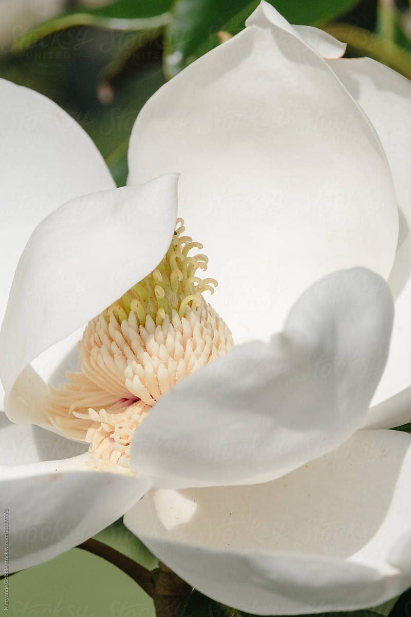 White Magnolia Bloom Stocksy United Southernmagnolia Magnolia White Magnolia Tree Magnolia Flower White Magnolia