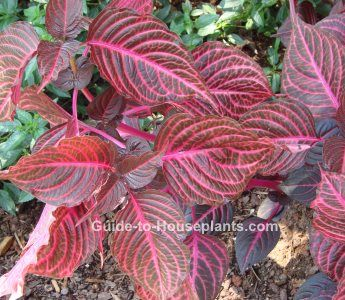 Grow Iresine Herbstii Indoors And Enjoy This Vibrant Red Leaf House Plant Year Round Find Out How To Prune Repot Water Fertilize