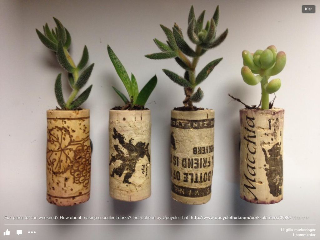 Plantera succulenter i korkar.