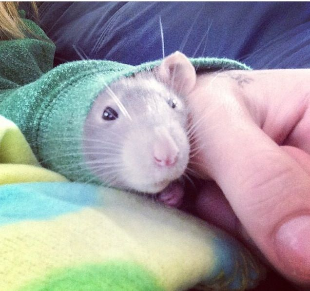 Sleeves Are Nice Cute Rats Baby Rats Cute Animals