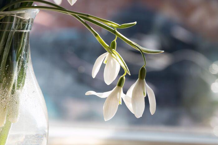 Snowdrop Flowers Flower Meanings Flowers Language Of Flowers