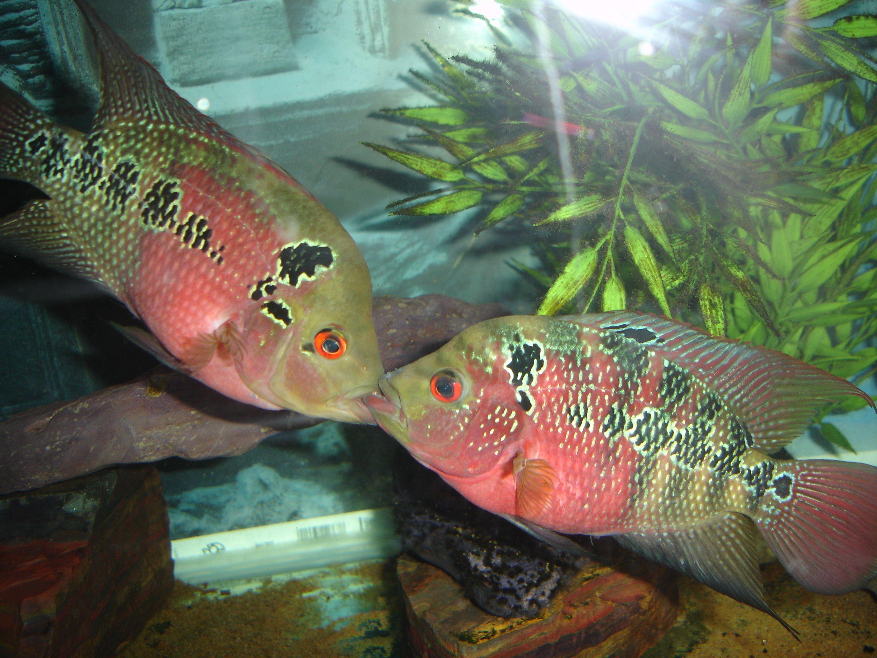 Dragon fish tank ornament - Dragon Fish Cichlids Com Male And Female Red Dragon Flowerhorn