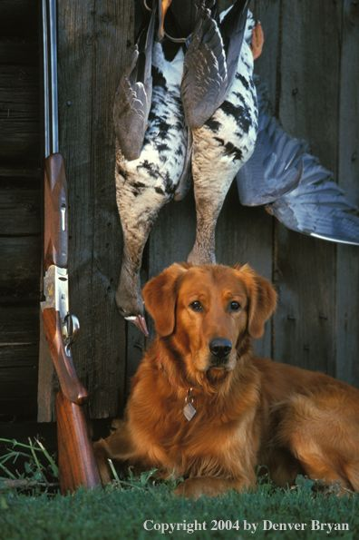 Golden Retriever With Bagged Geese Denver Bryan Beautiful Dogs