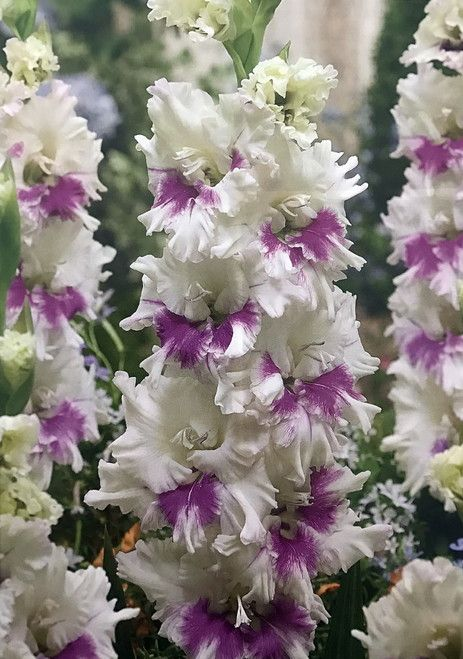 The Parrot Gladiolus are a delightful group of gladiolus with their heavily ruffled flowers. To achieve the best result plant the gladiolus in large clumps of a least five bulbs. Their sword-like foli