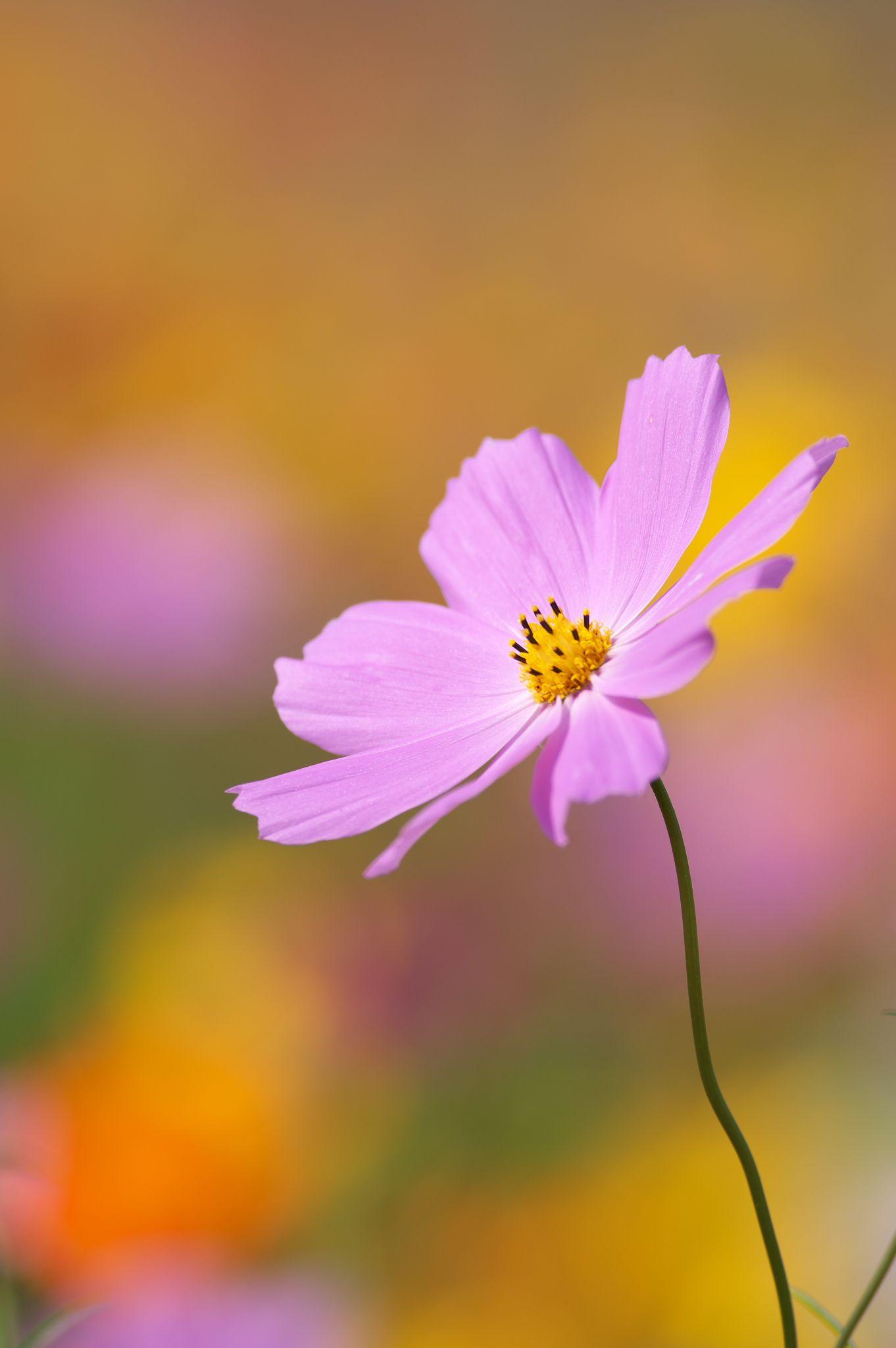 Beauty From The Dirt Cosmos Fertilizer Flower Wallpaper