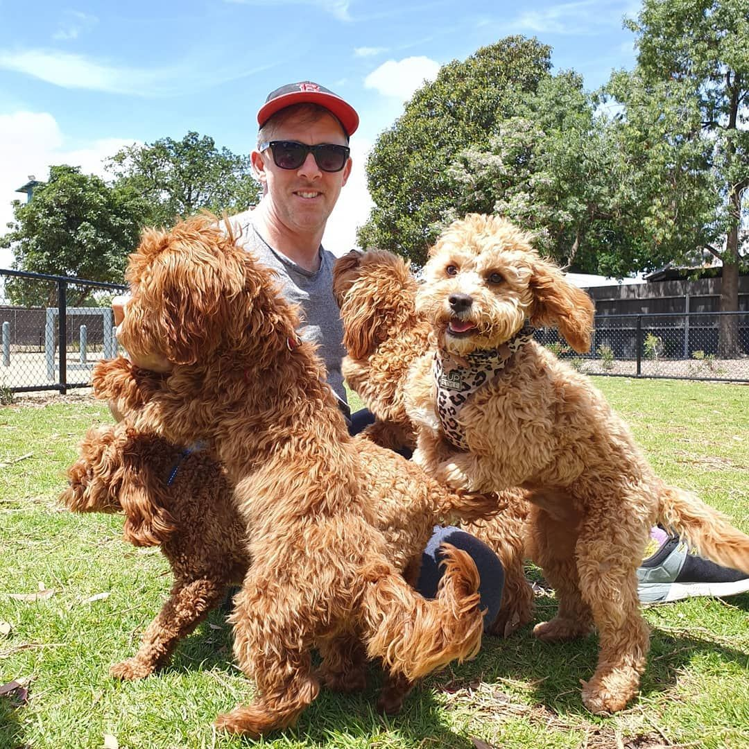 It Was So Lovely To Meet The Melbourne Cavoodle And Spoodle Playdate Group By Chance At The Park Today So Many Puppies Funny Doggy Dogs And Puppies