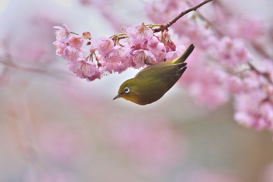 Beautiful Cherry Blossoms Around The World Burung Cantik Burung Kecantikan