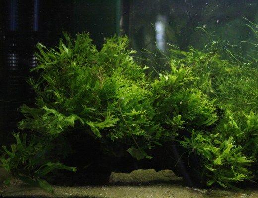 6 Easy Coldwater Aquarium Plants Aquariadise Planted Aquarium Aquatic Plants Aquarium