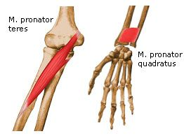 sw sportmassage © - anatomie - m. pronator teres & m. pronator, Human Body