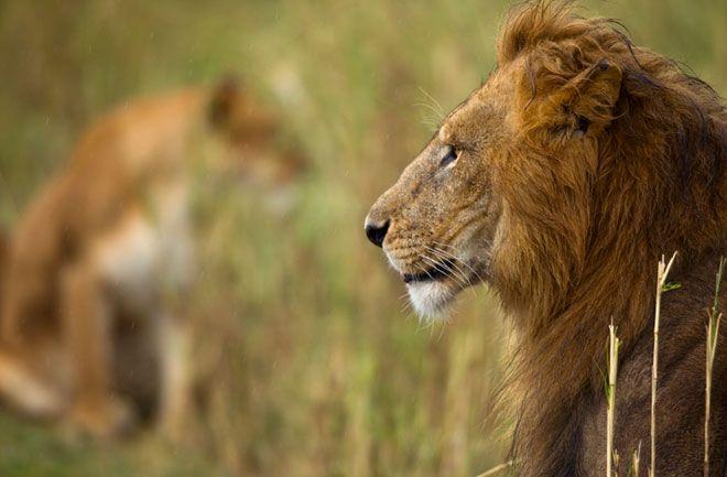 lion face side view - Szukaj w Google | Lion, Lion face, Side view ...