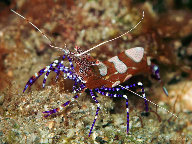 Spotted Cleaner Shrimp Periclimenes Yucatanicus Marine Fish Spotted Sea Fish