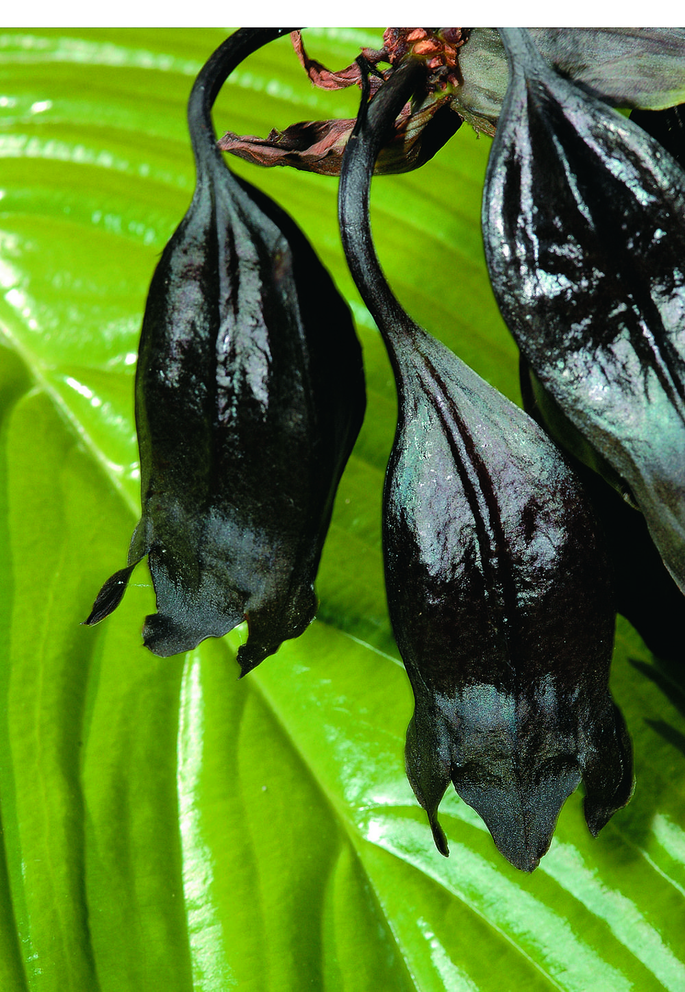 how to grow a bat plant from cuttings