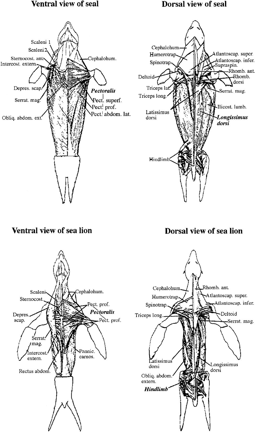 Rat Muscle Anatomy Diagram Benefits Of Network In Project Management Image Result For Spotted Seal Skeleton Reference