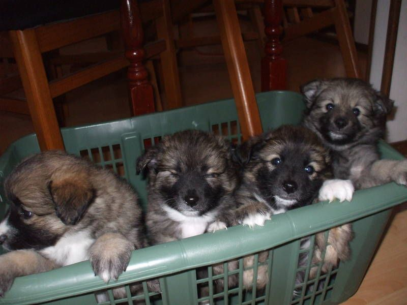 Border Collie X Keeshond Puppies Finding A House Puppies
