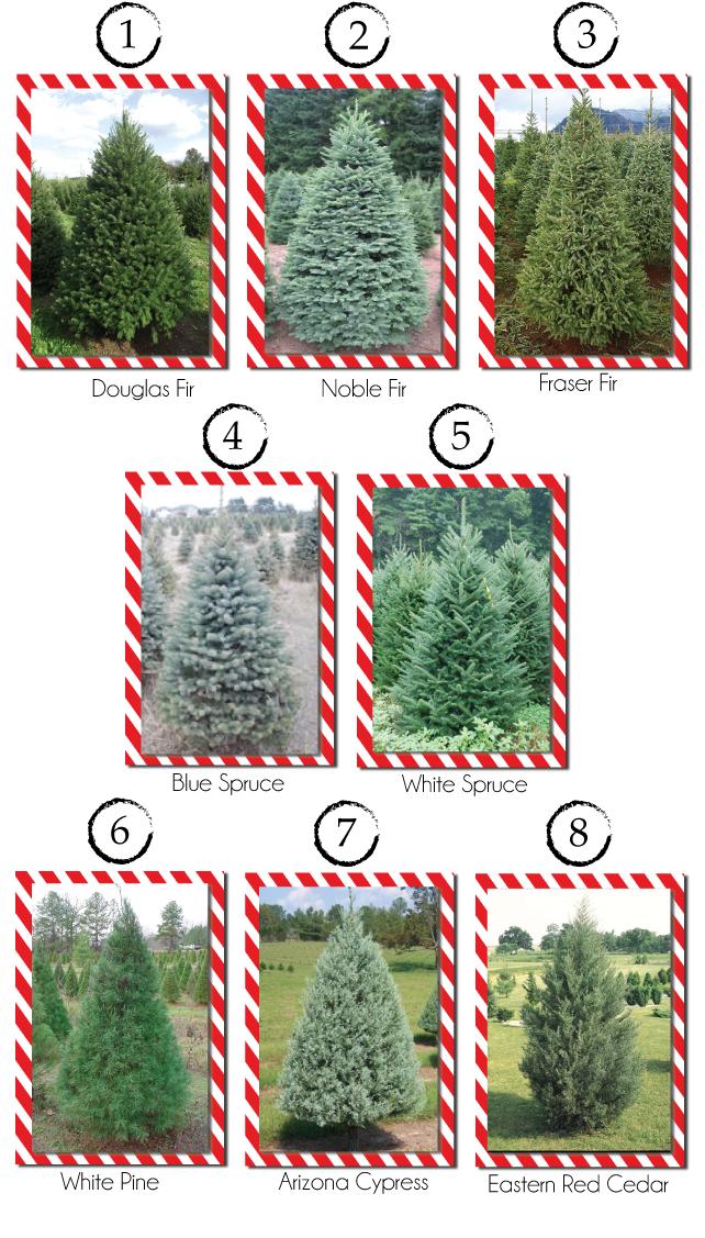Christmas Tree Varieties Christmas Tree Varieties Types Of Christmas Trees Christmas Farm